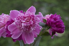 open peonies (Pejasar) Tags: spring 2017 flowers blooms blossoms colorful nature life beauty delicate tulsa oklahoma garden