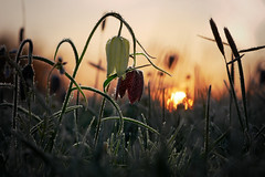 frozen flowers (Olaf Traumflieger) Tags: schachbrettblumen fritillaria meleagris
