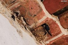 Delichon urbicum (Mauro Hilário) Tags: bird nature wildlife portugal avifauna avian house martin delichon urbicum nest