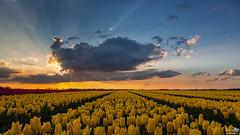 Cloud, sunset, sun rays and tulips (BraCom (Bram)) Tags: bracom sunset sky cloud wolk zonsondergang tulpen tulips yellow geel sunrays evening avond bloemen flowers agricculture landbouw outdoor buiten nature natuur rural sommelsdijk goereeoverflakkee zuidholland nederland southholland netherlands holland canoneos5dmkiii widescreen canon 169 canonef24105mm bramvanbroekhoven nl