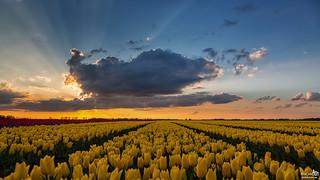 Cloud, sunset, sun rays and tulips