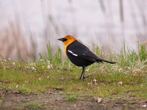 Yellow-headed Blackbird - Richmond, BC