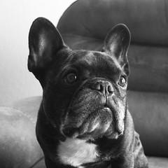 04-25-17 (2739) Head Shot (Lainey1) Tags: 2739 2739oz 365 theeighthyear 042517 bw monochrome oz ozzy dog frenchie bulldog lainey1 elainedudzinski frogdog zendog frenchbulldog ozzythefrenchie leica leicadlux4 dlux4