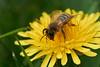 Miner bee feeding on dandelion #4 (Lord V) Tags: macro bug insect bee minerbee dandelion