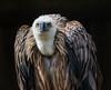 Sperbergeier (muman71) Tags: dsc8224 nikon d610 sigma70200ex wildpark tripsdrill 2017 sperbergeier geier vogel f5 1500sec 200mm