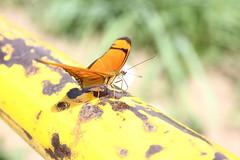 Borboleta bairro São João JM - Wir Caetano - 26 04 2017 (29) (dabliê texto imagem - Comunicação Visual e Jorn) Tags: borboleta inseto amarelo escada ferrugem