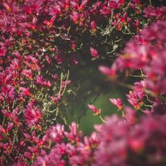 Roze bloemetjes (sylvia@flikkert) Tags: roze pink bloemen flowers nederland thenetherlands japansetuin japanesegarden clingendael denhaag thehague