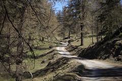 Mont Chemin (bulbocode909) Tags: valais suisse forêts arbres nature montagnes printemps chemins coldutronc montchemin mélèzes