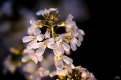 last rays of sunshine (stein.anthony) Tags: makro macro natur nature landscape flowers florafauna blüten blume abenddämmerung