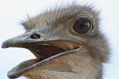 Ostrich (armct) Tags: ostrich closeup bird large inverdoorn africa westerncape capetown gamereserve wildlife game reserve face beak bill eye feathers lunch