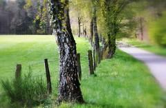 _spring green (SpitMcGee) Tags: hff happyfencefriday birke birch baum tree weg road walk whitduke frühling spring grün green