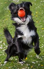 Collie Catch (James Hislop Coleraine) Tags: 1855 kitlens canon dog sample 350d collie