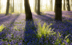 Bluebell Illuminata (pixellesley) Tags: dawn woodland forest england flowers bluebells spring landscape trees ferns shadows light lesleygooding