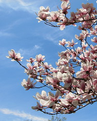 IMG_2134 (quirkyjazz) Tags: trees clouds spring lookingup magnolias blueskky