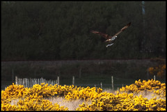 osprey | fishing (John FotoHouse) Tags: birds wales fishing hunting 100400mm osprey dolan 2013 alongwayaway johnfotohouse canon7d