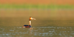 great crested grebe (zahoor-salmi) Tags: camera pakistan macro nature birds animals canon lens photo tv google flickr natural action wildlife watch bbc punjab wwf salmi walpapers chanals discovry beutty bhalwal zahoorsalmi thewonderfulworldofbirds blinkagain