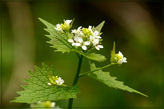 Garlic Mustard Jack-by-the-hedge (bobspicturebox) Tags: flowers wild dog sun cup robin evening buttercup tea song sparrow tulip garlic mustard foxes flytipping creeping thrush ramson cuckooflower afternnoon soapwort vixon jackinthehedge