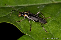 Kfer (binax25) Tags: detail macro animal bug insect makro insekt tier kfer frhling