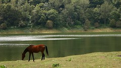 Horsie () Tags: horse lake animals dam reservoir westernghats kundala kundaladam anaimalaihills
