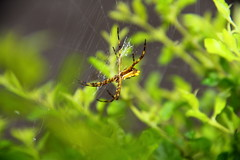 Spider (Pedro Hartmann) Tags: color verde green brasil garden insect de photography spider photo br sp inseto jardim paulo so guarulhos gru aranha colorido preedu
