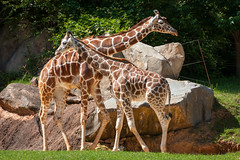 big fellas (Soggy6) Tags: zoo pair north sunny giraffes carolina nczoo asheboronc