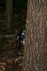 22/52 surveillance (huckleberryblue) Tags: dog tree eye woods gracie hound ear bluetickcoonhound week22 52weeksfordogs