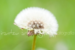 (Irantzu Arbaizagoitia) Tags: light white plant flower macro beauty grass closeup season outdoors spring stem flora blossom softness seed fluffy dandelion pollen herb isolated greenbackground fragility