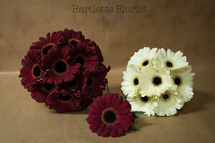 Gerbera Wedding Set (Francesca Delanty-Granger Photography) Tags: wedding red brown white colour bride petals rich cream petal gerbera bridesmaid florist bouquet bridal buttonhole burgandy gerberas floristry
