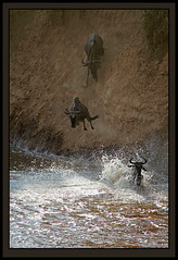 Taking risks! (Rainbirder) Tags: kenya masaimara bluewildebeest connochaetestaurinus commonwildebeest rainbirder