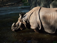 Rhino in Berlin Zoo (jennygriffiths1) Tags: berlin zoo rhino