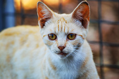 Gorgeous long-term resident at the colony (Eveleigh Street Cats) Tags: street city rescue cat kitten sydney inner feed ghetto socialising feral desex rehome