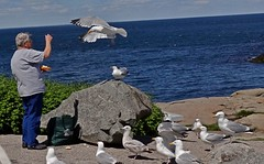 Feeding gulls (Jacques Trempe (106,000 + views)) Tags: york beach feeding gull maine goeland