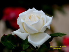 White rose (Pepe (ADM)) Tags: flowers white flores nature rose flor fiori whiterose fleure