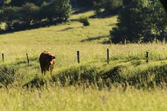 _NLC1934 (Trua67) Tags: france photography photo nikon photographie vercors vache faune d7000 saintagnanenvercors