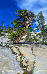 Yosemite Wind-Tortured Tree (Bill Wight CA) Tags: california park usa tree rock national american yosemite granite northamerica olmsteadpoint leevining monocounty billwight copyright2013