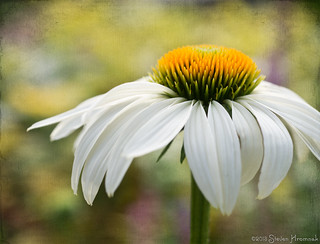 Summer's Arrival - The Coneflower