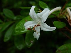 Swamp or Clammy Azalea (Dendroica cerulea) Tags: summer flower newjersey bush nj rhododendron ericaceae azalea shrub greatswamp morriscounty clammyazalea rhododendronviscosum greatswampnwr ericales swampazalea