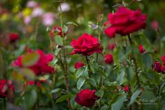 Roses Are Red (Eric.Vogt) Tags: roses test rose oregon garden portland spring unitedstates pdx internationrosetestgarden