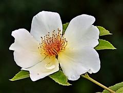 White Rose (Pat's Pics36) Tags: white canada rose whiteflower britishcolumbia kelowna whiterose onblack holidayparkresort nikond7000 nikkor18to200mmvrlens