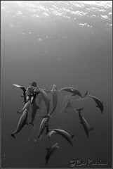Naia (bodiver) Tags: hawaii blackwhite dolphin ambientlight wideangle freediving kealakekua fins naia