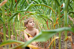 Corn Jungle (Victoria Hederer Bell) Tags: boy portrait field wisconsin canon outside kid corn play harvest 28 roderick 6d 2470 victoriahedererbell 2013
