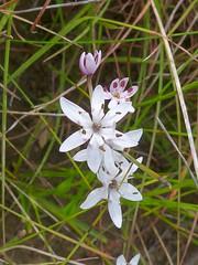 Wurmbea biglandulosa 9 (barryaceae) Tags: old bar park heath heathplants plants species new south wales australia australianheathplants aushp colchicaceae