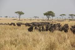 Mara Triangle (Laika ac) Tags: africa kenya safari wildebeest masaimara wildebeestmigration wildebeestherd maratriangle maratrianglepark
