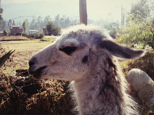Lama, Andahuaylas, Pérou