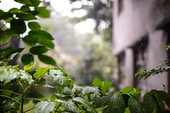 (傑森林 (Jason Lin)) Tags: plant rain 35mm leaf nikon taiwan taipei nikkor 台北 臺灣 植物 華山 葉 d600 雨 2013 35mmf14g 華山1914文化創意產業園區