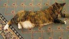 Gracie Video 68, 28 September 2013MVI_7301 (edgarandron - Busy!) Tags: cats cute cat gracie feline tabby kitty kitties tabbies patchedtabby