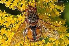 Igelfliege (Peter Lochschmied) Tags: insect fly flies insekt fliege igelfliege