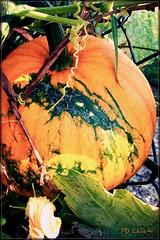 pumpkin splat (MissyPenny) Tags: autumn orange pumpkin pennsylvania kodakz990 pdlaich missypenny