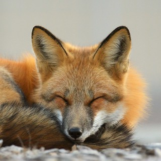 ZZB_5402 - Red Fox