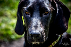 New Grand-dog Keyser (Lallee) Tags: rescue black dogs canon mix shiny florida labradorretriever breed bassetthound keyser bassador